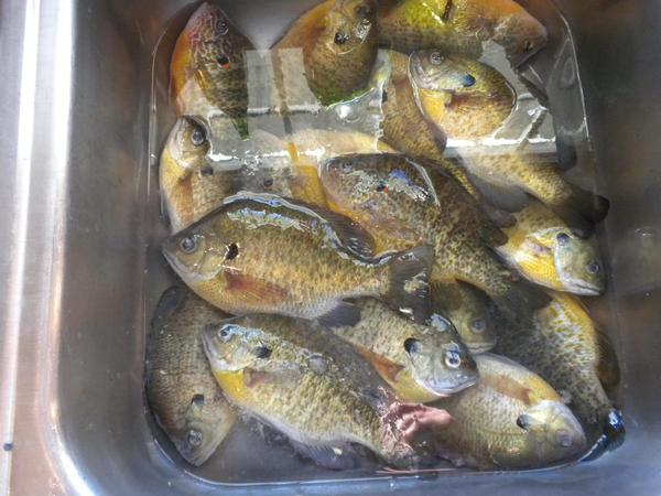 Bluegill for Nd game and fish stocking report