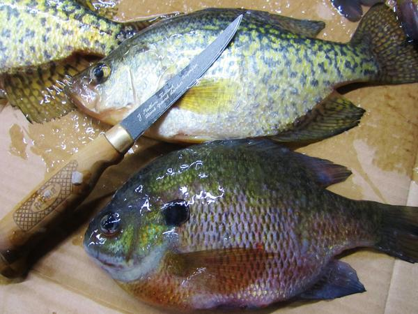 Wisconsin river spring green to blue river fishing reports for Blue river fishing report