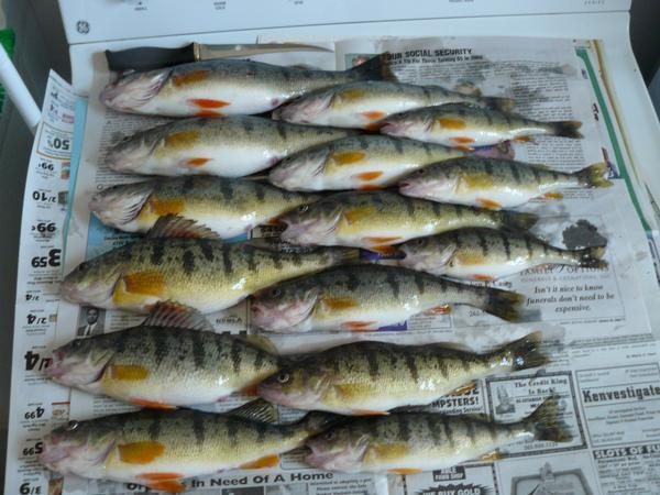 Perch pics for Perch fishing michigan