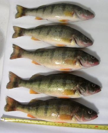Lake Michigan Perch Kenosha County Fishing Reports And