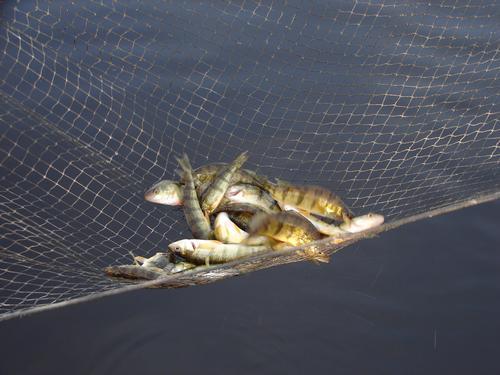 Oconto river spring perch for Oconto fishing report