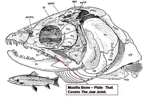 Fish skull anatomy 3261934 - follow4more.info