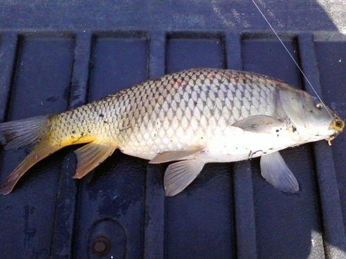 Des plaines river kenosha county fishing reports and for Sheepshead fish eating