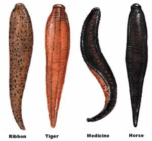 List of different types of leeches