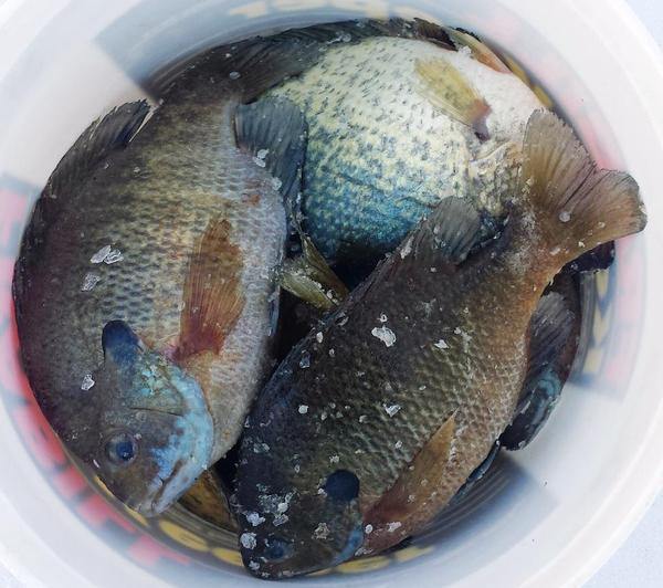 Mississippi river pool 7 8 fishing reports and discussions for Lake onalaska fishing report