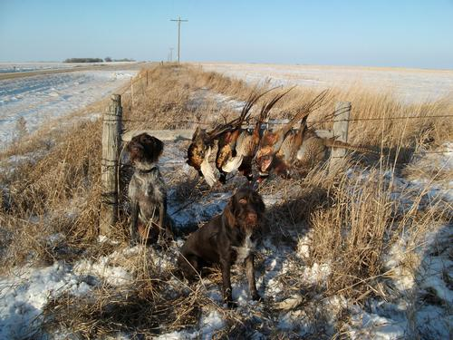 Go Back > Gallery For Pheasant Hunting Wallpaper Pictures
