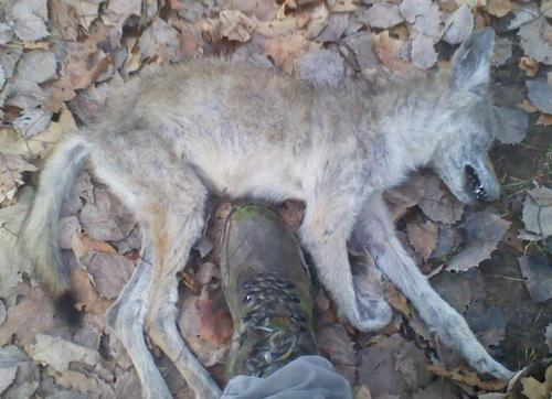coywolf pictures